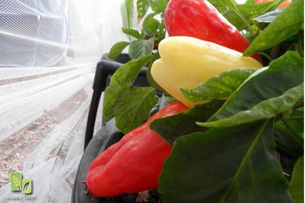 Alba Regia Sweet Pepper