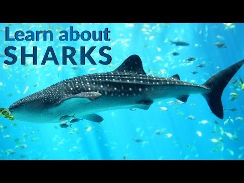 Learn about Sharks -Sharks- Sharks Facts - Lesson for Kids - YouTube