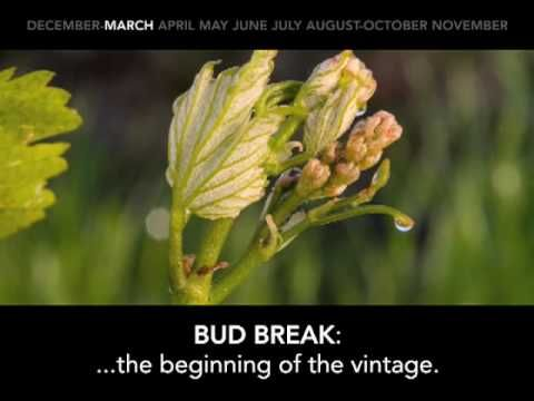 The Life of a Winegrape: From it's winter dormancy until it's fall harvest, the winegrape has a colorful life full of activity. Here is a capsule of the cycle. Just click the play button and enjoy! Shared from the Sonoma County Winegrape Commission.