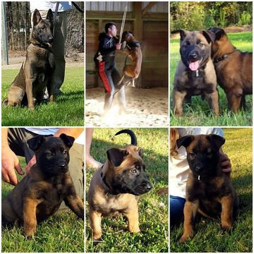 Litter Of 5 Belgian Malinois Puppies For Sale In Richlands Nc