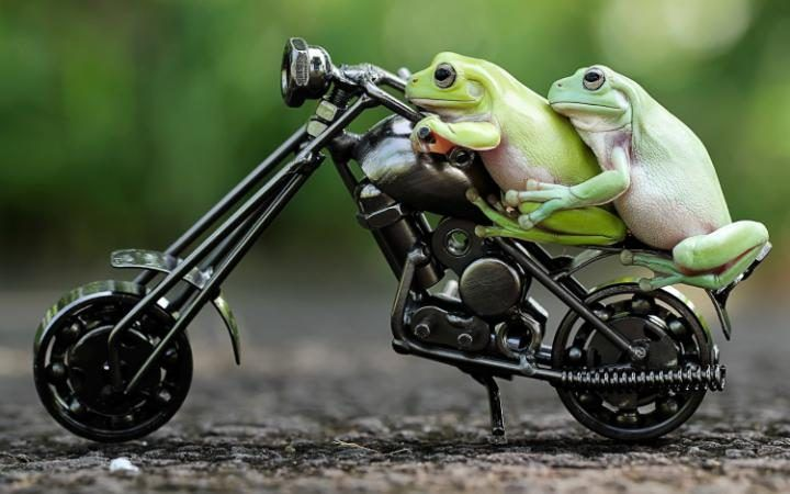 Dumpy tree frogs ride a toy motorbike in Tangerang, Indonesia