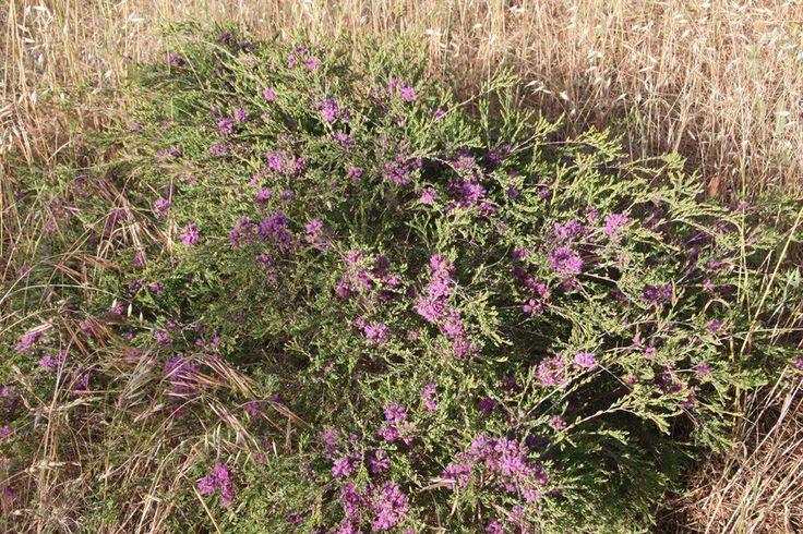 Melaleuca thymifolia   by Westflora
