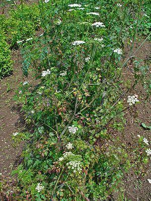 Die Hundspetersilie (Aethusa cynapium) ist die einzige Art der Pflanzengattung Aethusa innerhalb der Familie der Doldenblütler (Apiaceae). Dieses stark giftige Acker- und Weideunkraut ist in Europa und Kleinasien beheimatet.