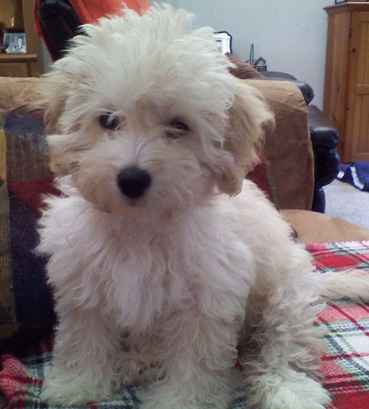 Super cute Lucy -  Maltipoo