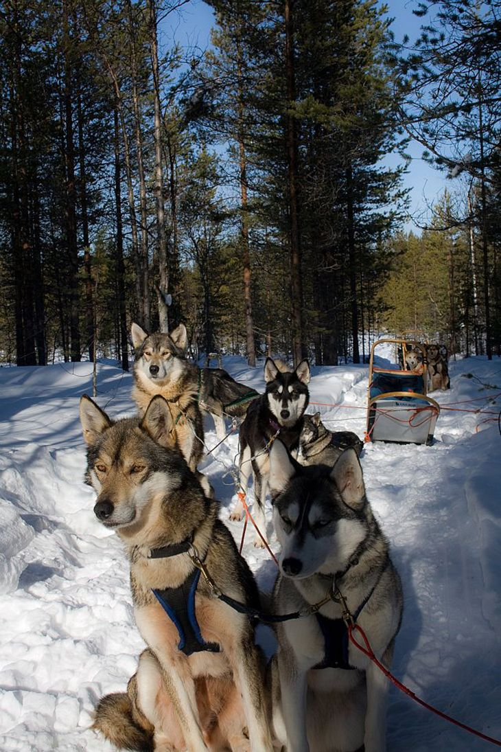 87 best sled dogs images on pinterest sled dogs siberian