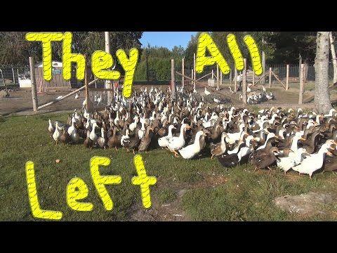 Last Day For The Ducks #131 Ducks For The Homeless - YouTube