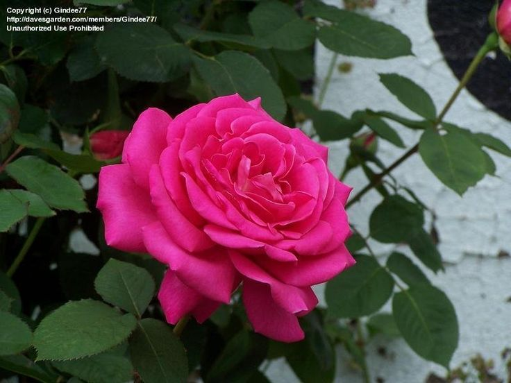 View picture of Hybrid Tea Rose 'Miss All-American Beauty' (Rosa) at Dave's…
