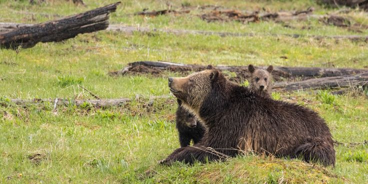 Grizzly bear w/ cubs