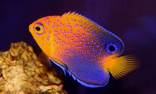 Japanese Angelfish Oceaanleven Vissen En Oceaan