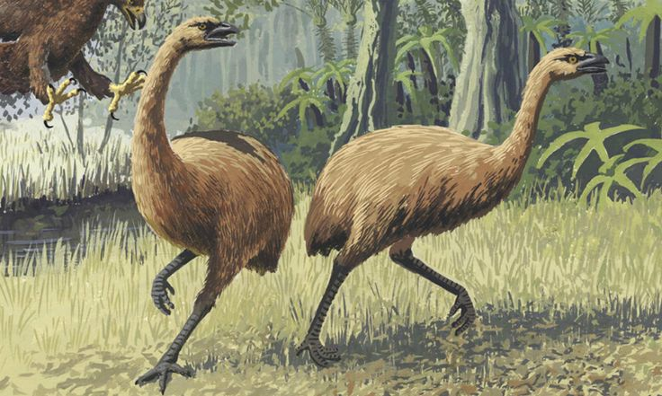 Moas - measuring up to 2.5 metres high and weighing 250 kilograms - were the largest herbivores in New Zealand's pre-human environment but were quickly exterminated after the arrival of Polynesian settlers. (Do they enough DNA to clone one?)