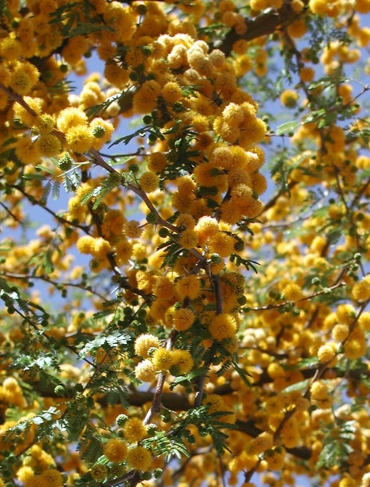 Acacia farnesiana (sweet acacia) flowers. These are distilled for their essential oils.