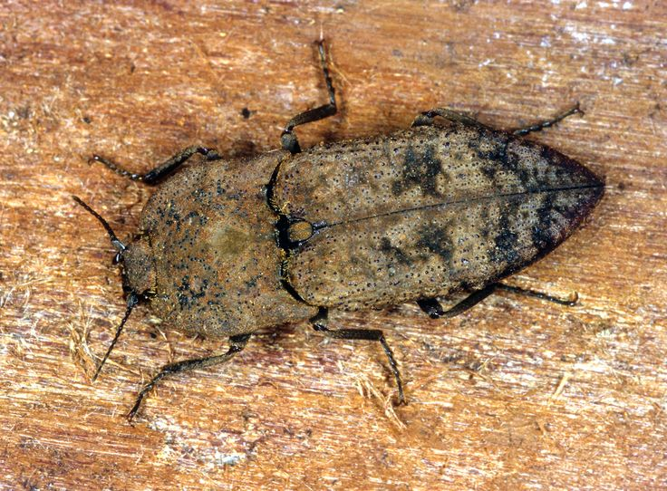 The Cook Strait click beetle. Its name comes from the 'clicking' device that links between the front and back part of the thorax on the beetles' underside.
