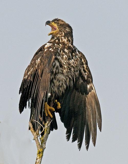 Juvenile bald Eagle by SigmaEye