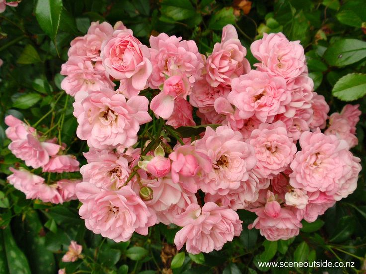 Rosa 'The Fairy'. Described and illustrated in the plant guide of my website http://www.aboutgardendesign.com