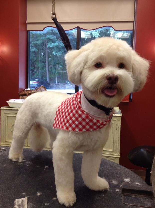 Havanese   Dogma Grooming Salon and Spa I like this face shape and ear cut