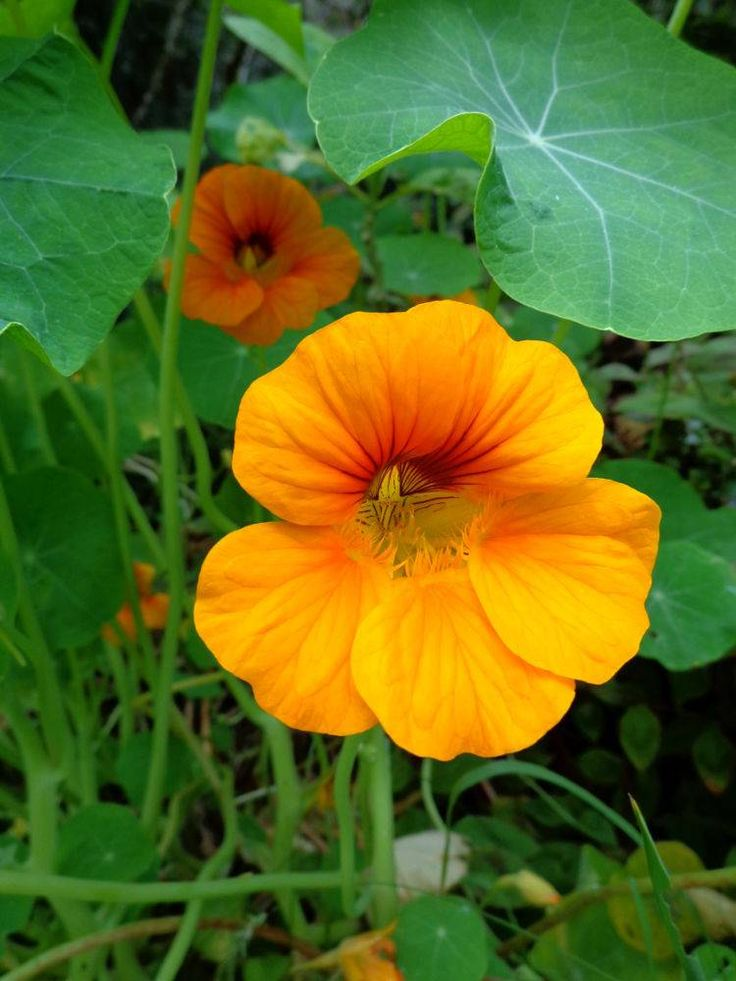 Capucine utilisation, semis, récolte