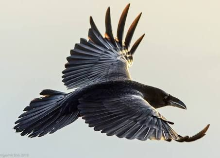 Image result for raven photos