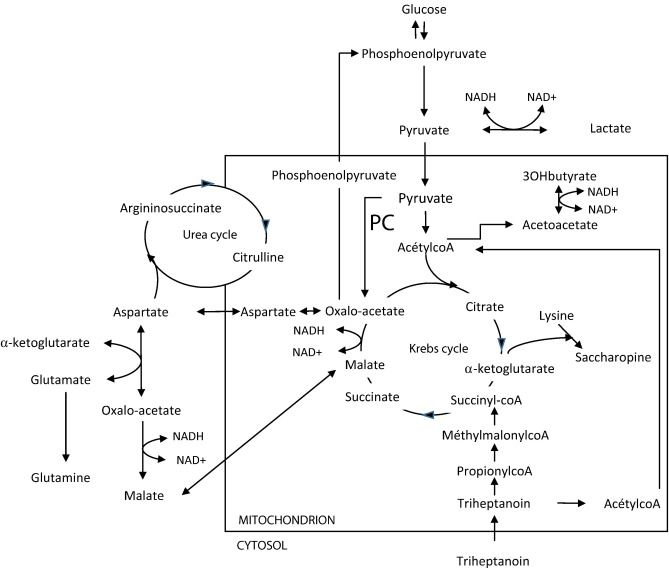 Functions of pyruvate carboxylase (PC), and its close relation to the urea cycle ...