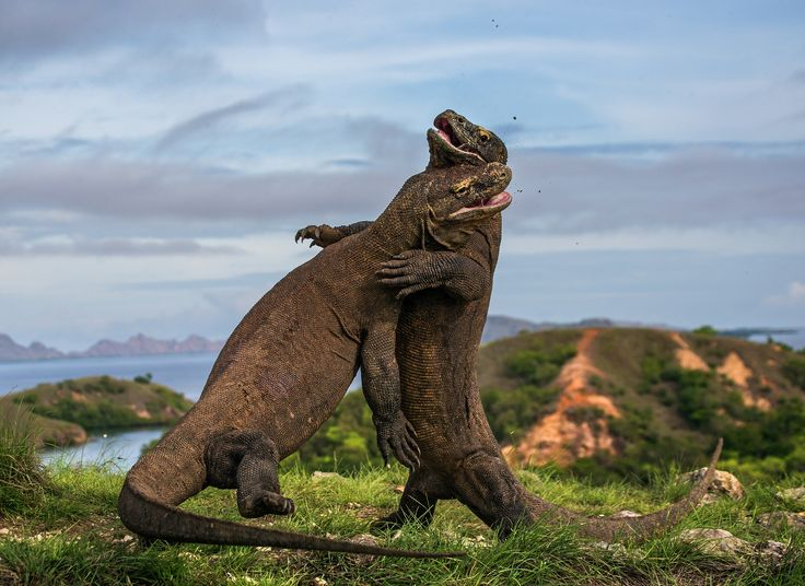 Komodo Judo by Andrey Gudkov  Finalist, Amphibians & Reptiles  Two large male Komodo dragons hissing angrily at each other in Indonesia's Komodo national park. Komodo dragons can grow up to 8ft Photograph: Andrey Gudkov - Wildlife Photographer of the Year 2015 finalists