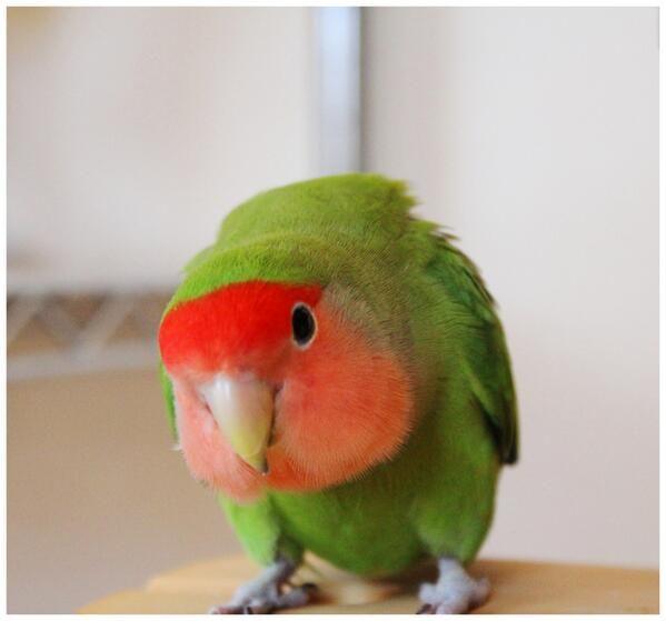 Peach-faced lovebird by mina