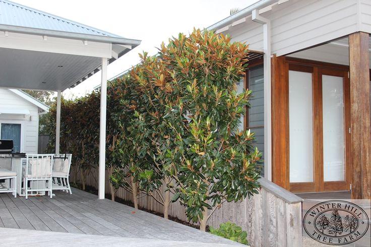 Magnolia - Dwarf , Magnolia grandiflora Little Gem - detailed image
