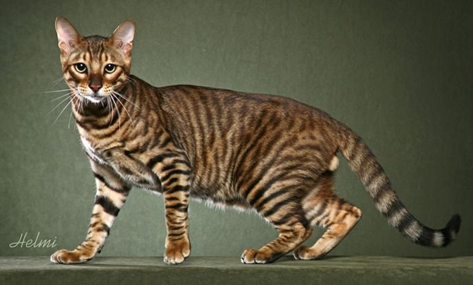 The Toyger Is A Result Of Cross Between Striped Domestic