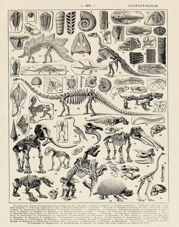 Vintage French Print of Dinosaur Skeletons by michaelellisstudios