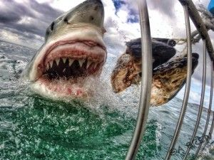 Stunning great white shark image 'just luck' - GrindTV.com Wow that is a picture :D I'd love to do the shark-diving cage while in South Africa!!!