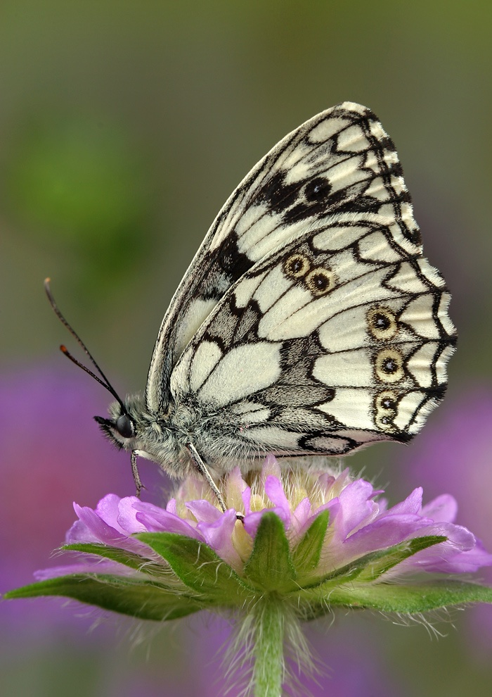by BlepharopisisBeautiful Butterflies, Butterflies Dragons Fly Moth, Butterflies Moth Dragonflies, Butterfliesdragon Fliesmoth, Amazing Butterflies, Black And White, Art Butterflies, Butterflies Mariposas, Animal Butterflies