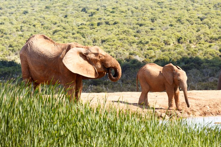 Drink by Hapoor Addo Elephant National Park is a diverse wildlife conservation park situated close to Port Elizabeth in South Africa and is one of the country's 19 national parks.