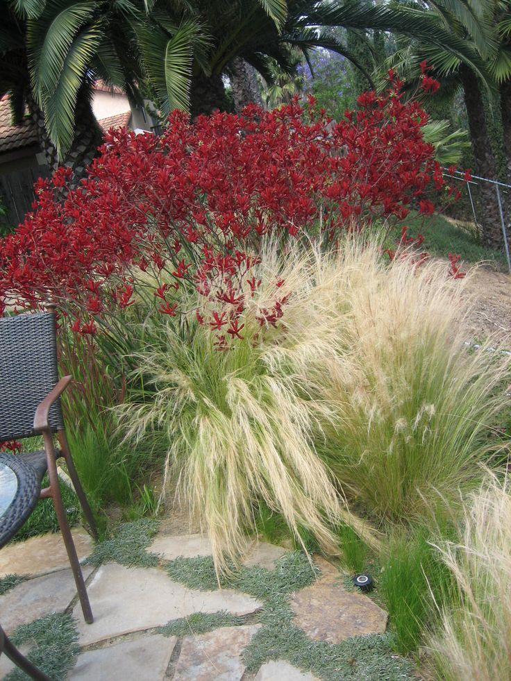 Nassella with Kangaroo Paw (Anigozanthos)  // Kangaroo Paws easily replaceable with Red Yucca (Hesperaloe parviflora)