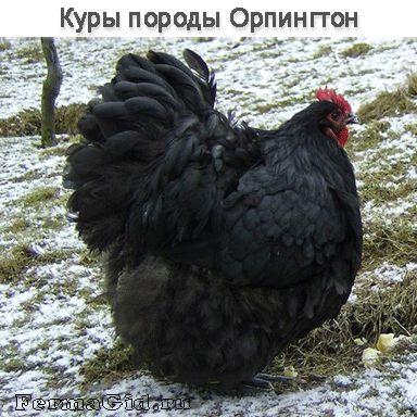 Курочка породы Орпингтон черного окраса