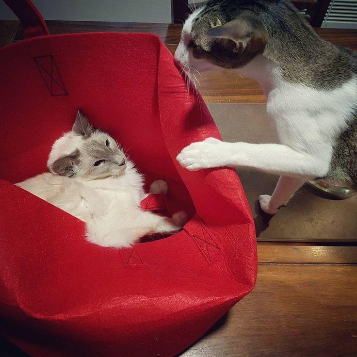 New play thing/place. 😸    #kotisäkki #balinesecat #orientalshorthair #cats #catsplaying #balineesi #itämainenlyhytkarva #kissat #kissatleikkii #hurineesit