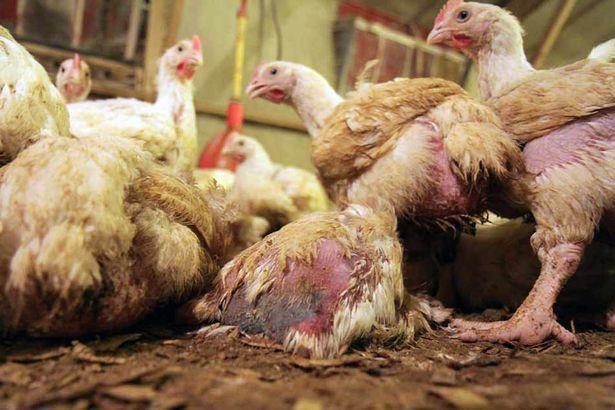 Der verdeckt aufgenommene Film des Hillside Animal Sanctuary legt abscheuliche Grausamkeiten in britischen Hühnermastanlagen offen!