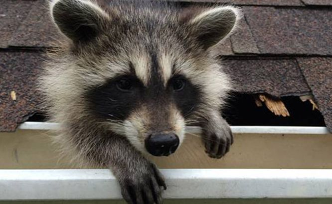 I Learned A Lot About Havahart Traps From Working In A Greenhouse And From My Own Personal Experience I Went To My Computer And Raccoon Cute Raccoon Animals
