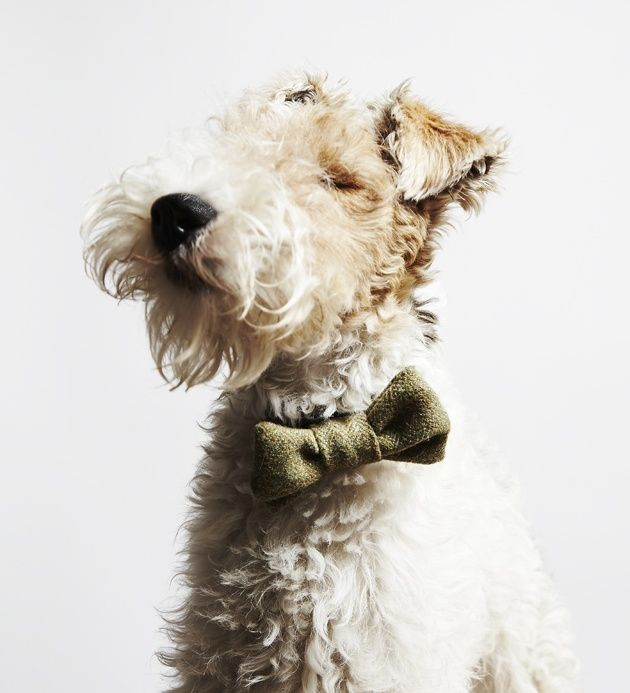 Bertie the Fox Terrier via Style Tailor. Photography by Little Portrait Company.