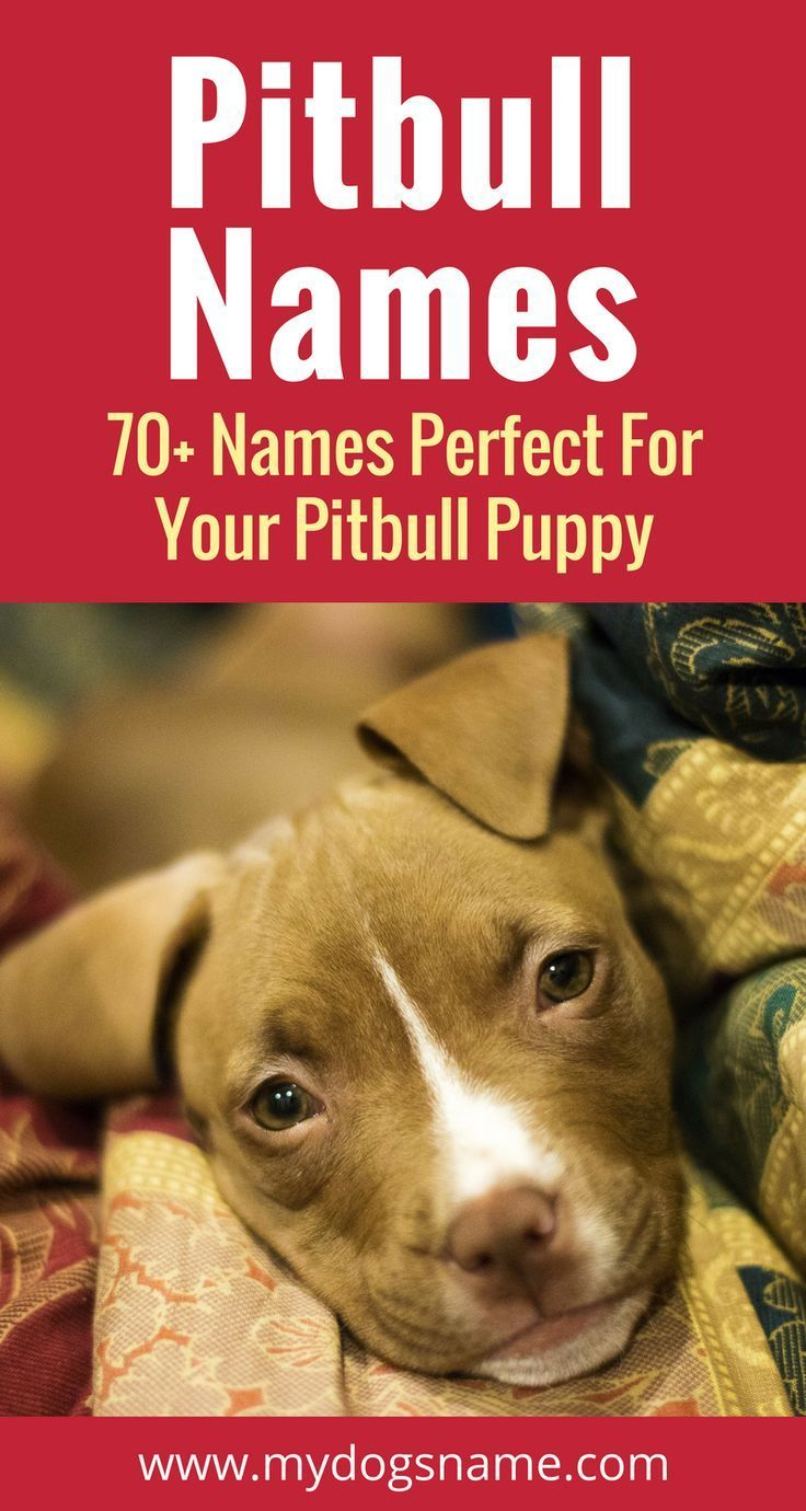 75 Pitbull Names You Ll Love Tough Classic More Pitbull