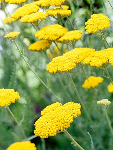 Yarrow   Not only does yarrow tolerate heat and drought like a champion, but this easy-growing perennial is also a great cut flower -- and deer, rabbits, and most other pests won't touch it. It comes in a number of varieties with blooms in shades of yellow, orange, red, pink, and white.    Name: Achillea varieties    Conditions: Full sun and well-drained soil    Size: To 4 feet tall    Zones: 3-9    Tips for Growing Yarrow     PREV  3/16