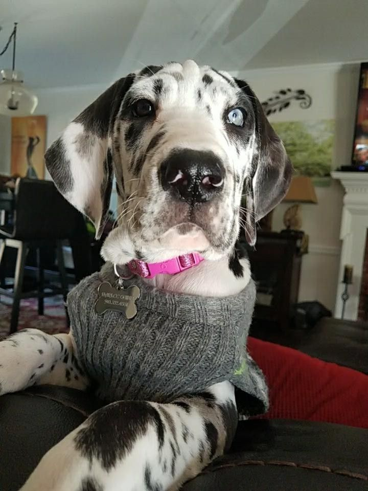My Beautiful Dane Baby Great Dane Dogs Dane Puppies Great