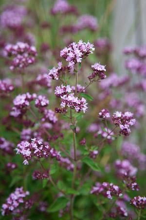 wild marjoram, a wonderful nectar source for all butterflies and moths