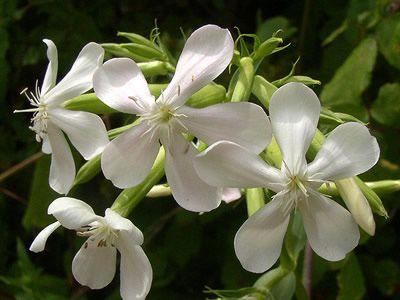 saponariaofficinalis-1