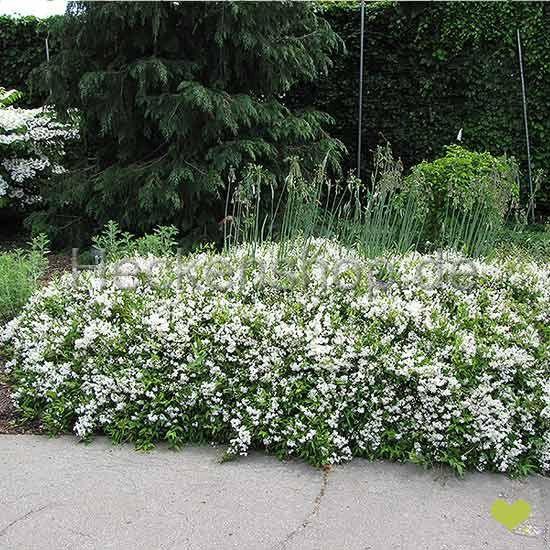 Zierliche Deutzie (Deutzia gracilis)   40-60cm   Im Topf gewachsen   10L   Spitzenqualität