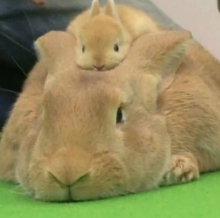Because bunnies stacked on bunnies is the best ever. #bunny #rabbit #cute; Harold, did you teach the baby this??