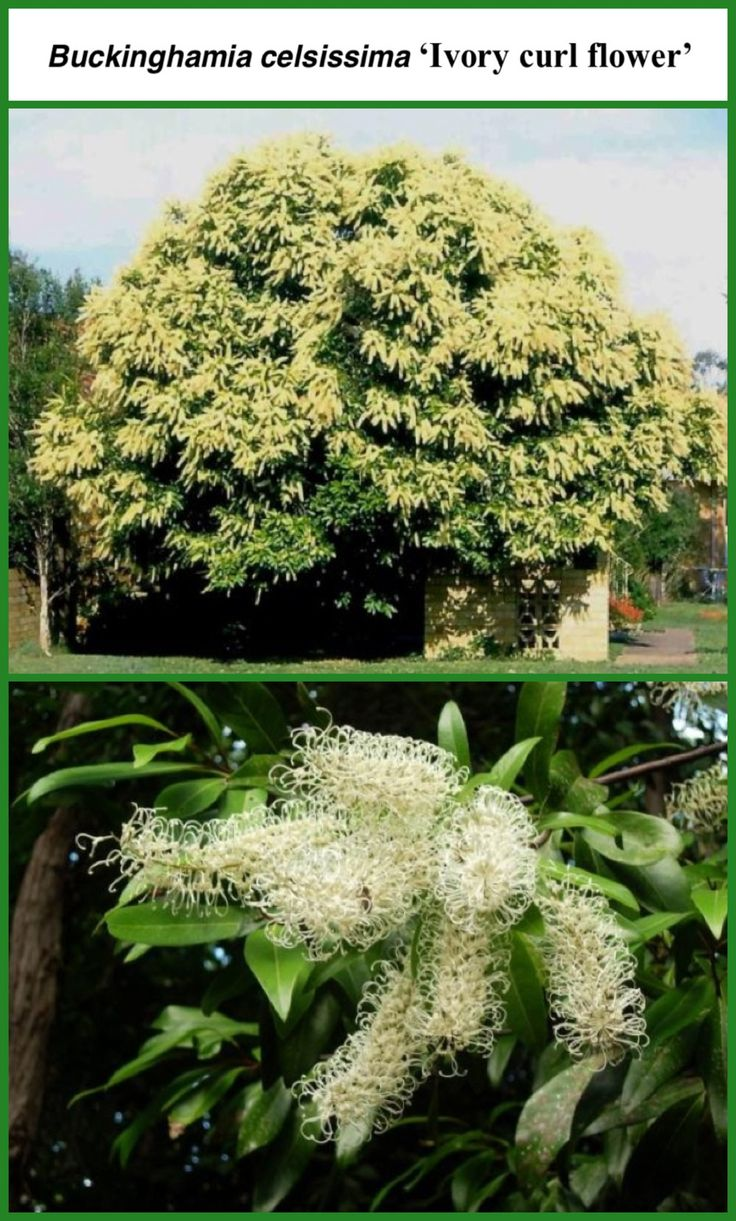Stunning Ivory Curl tree - Buckinghamia Celsissima.  This tree is a breathtaking sight in full bloom. It is a hardy garden plant that has beautiful, scented flower spikes, attractive foliage and a dense bushy shape. The flowers are perfumed and attract birds and bees. Will grow in Melbourne.