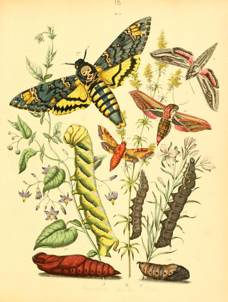 Deilephila. Musée entomologique illustré t.2 Paris :Rothschild,1876-1878. Biodiversitylibrary. Biodivlibrary. BHL. Biodiversity Heritage Library