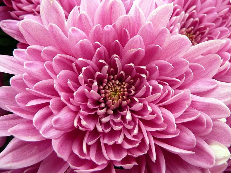 November Birth Flower: Chrysanthemum - ProFlowers Blog
