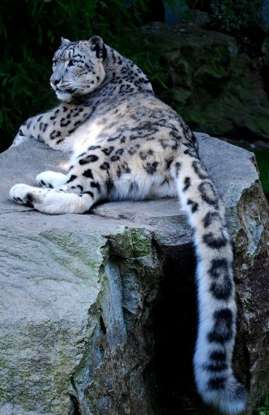 Gorgeous Snow Leopard - their tails are soooo long. Beautiful cats.