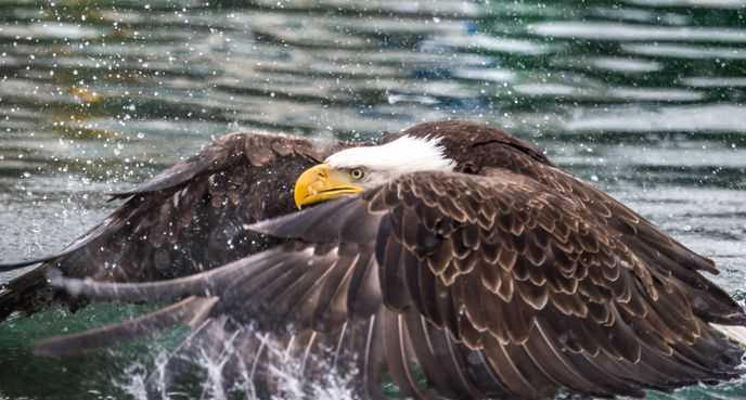 """Eagle butterful stroke,"" Christian Sasse, Dutch Harbor, Alaska"
