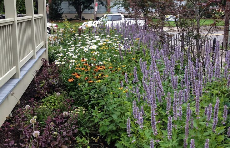 McCullough's Landscape & Nursery - the anise hyssop is deer resistant and pt to full sun