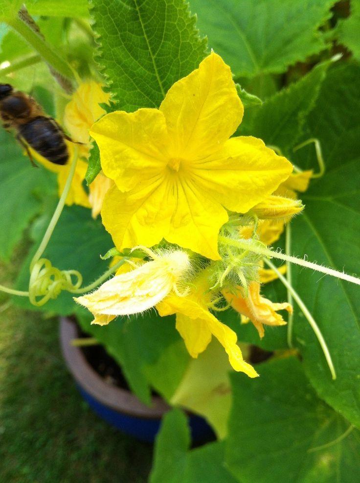 Gurken Im Topf Anbauen Pflanzen Pflegen Und Die Richtigen Sorten Pflanzen Anpflanzen Balkon Und Garten